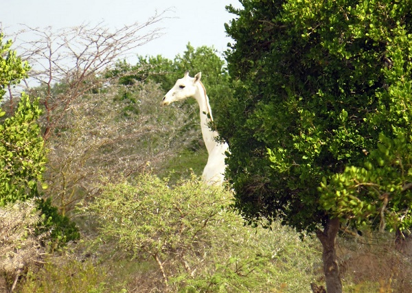 Image result for white giraffe